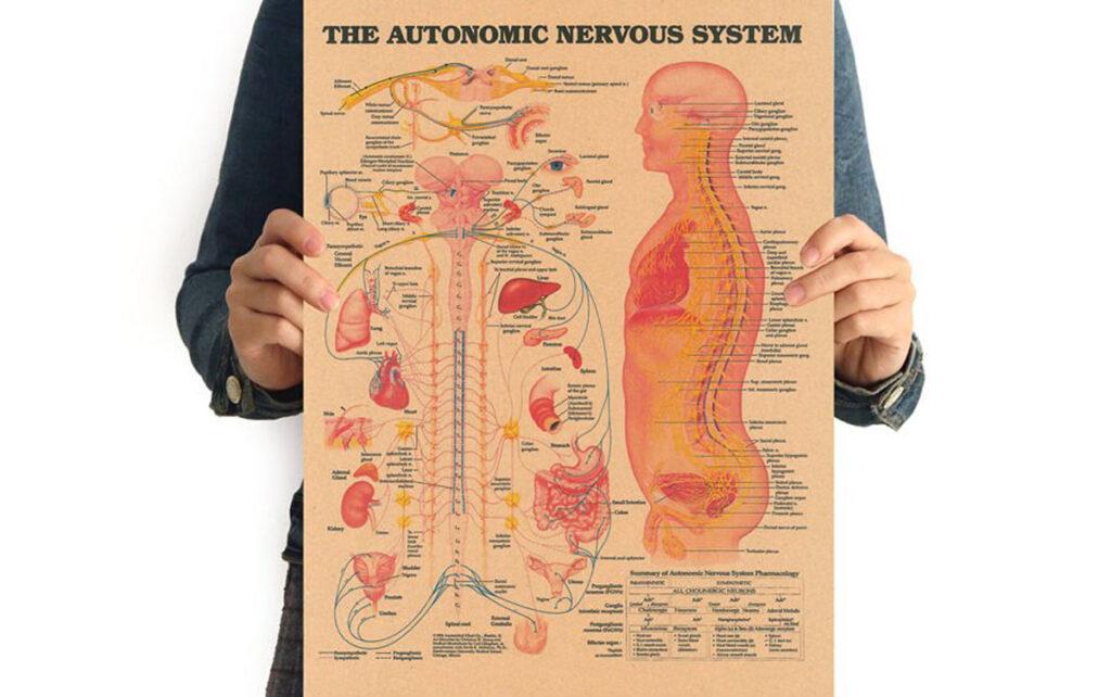 عملکردهای سیستم عصبی خودکار