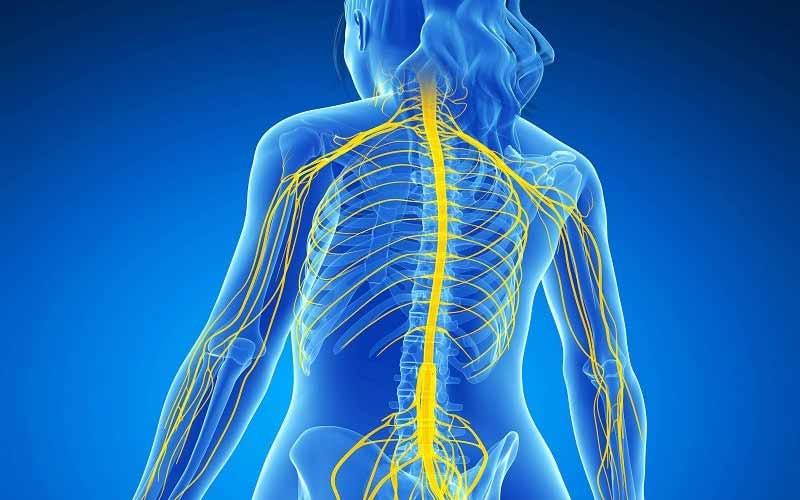 اجزای سیستم عصبی پیکری