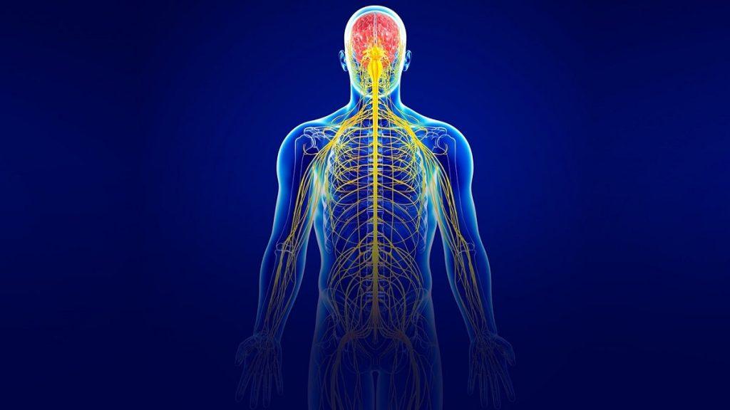 دستگاه عصبی محیطی انسان